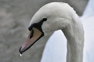 Mute Swan, ML266004391