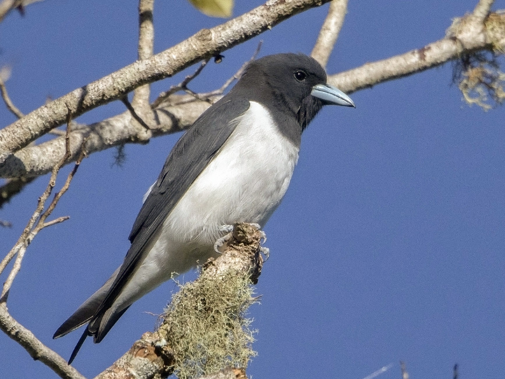 Great Woodswallow - Bradley Hacker