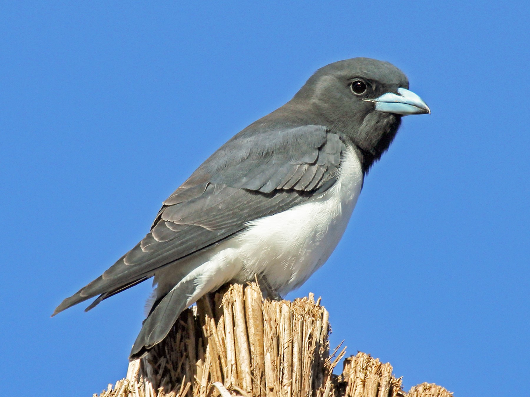 Great Woodswallow - Greg  Griffith