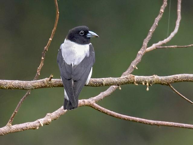 Bismarck Woodswallow - Lars Petersson