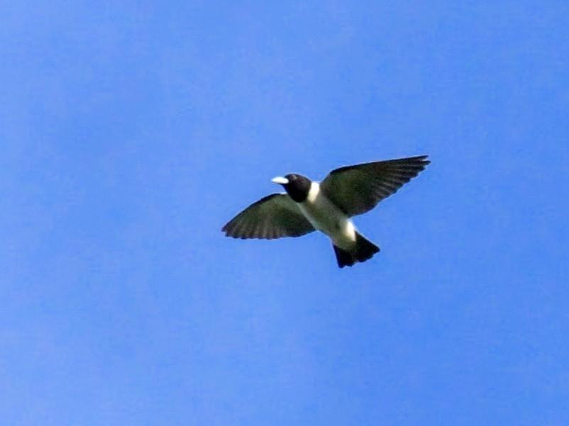Bismarck Woodswallow - Charles Davies