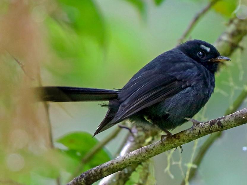 Black Fantail - Nigel Voaden