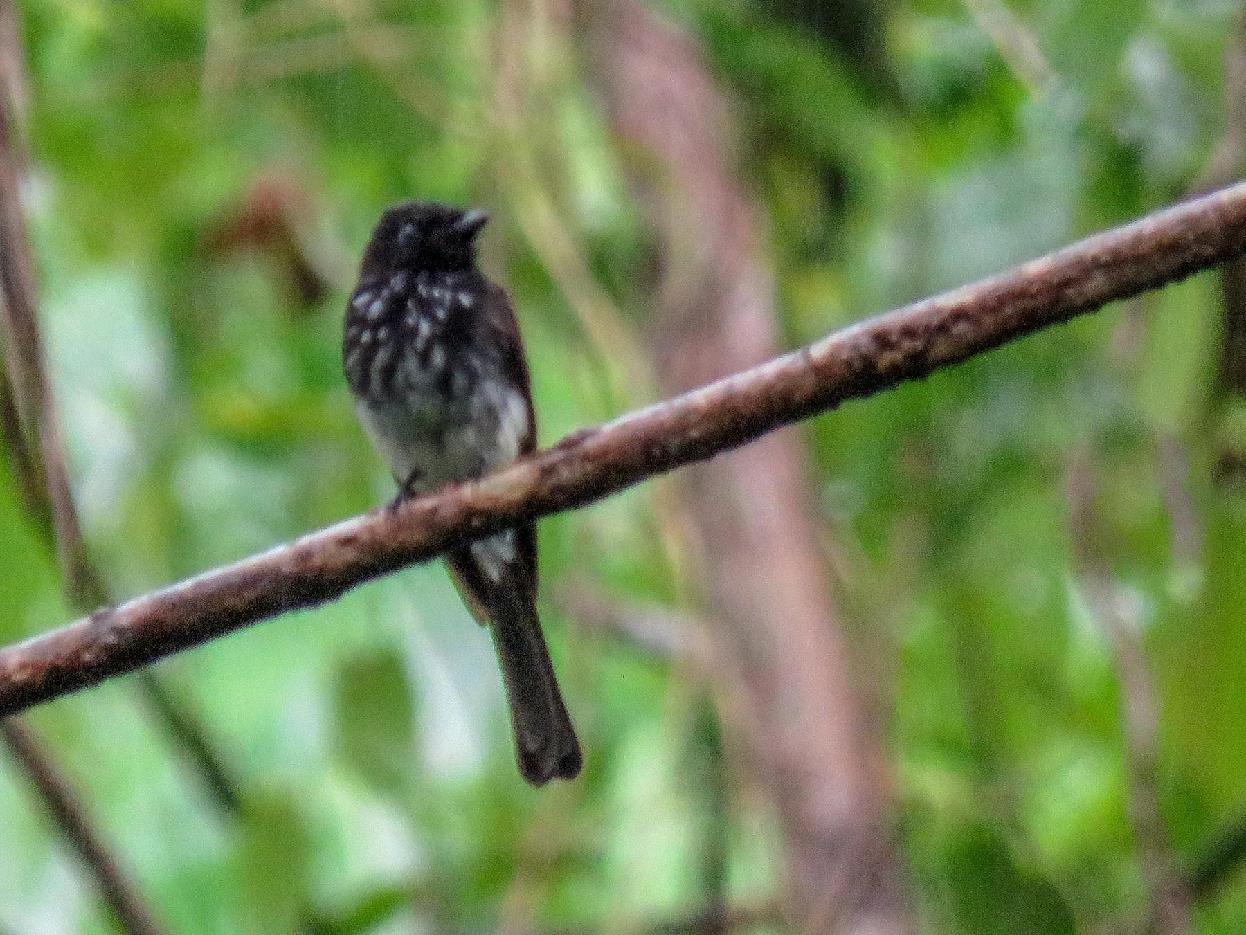 Cockerell's Fantail - Phil Gregory   Sicklebill Safaris   www.birder.travel