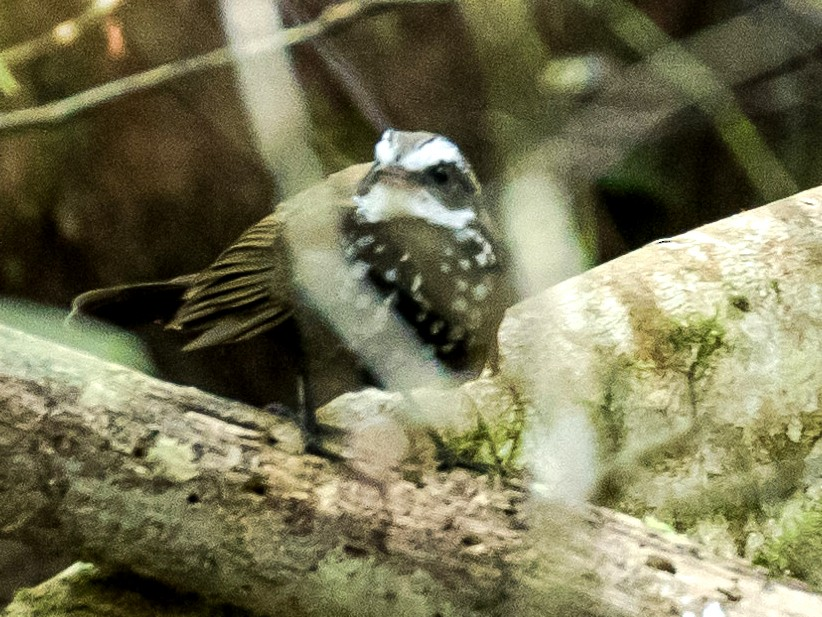 Sooty Thicket-Fantail - Chris Barnes