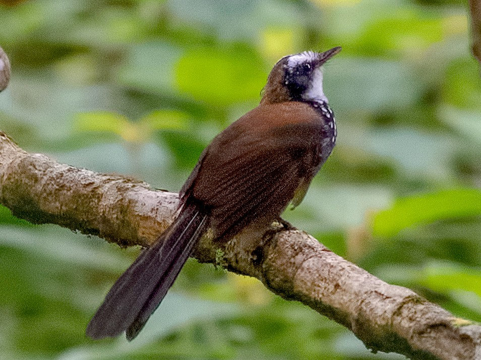 Sooty Thicket-Fantail - Shailesh Pinto