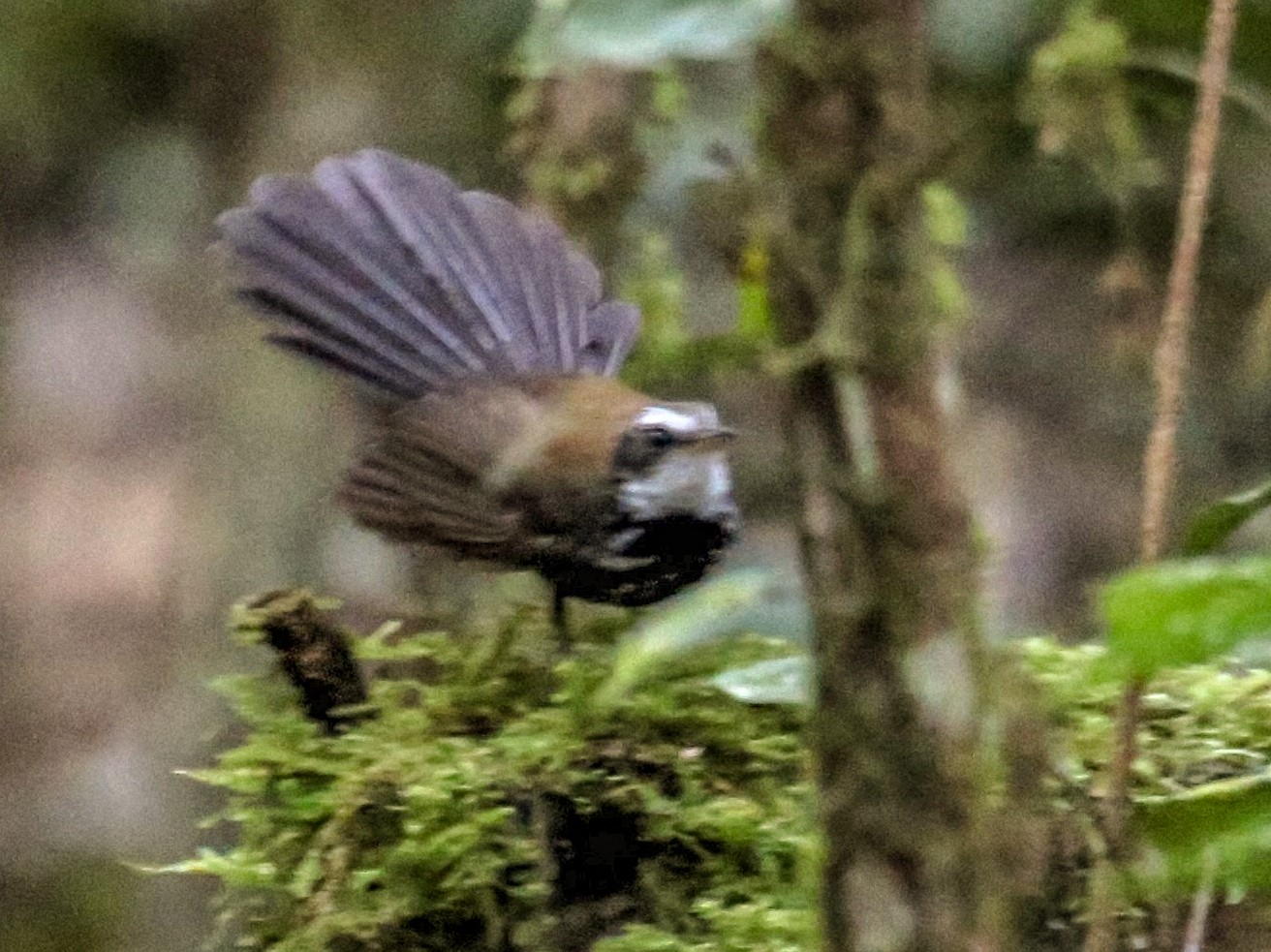 Sooty Thicket-Fantail - Charles Davies