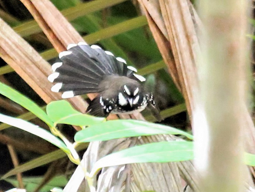 White-bellied Thicket-Fantail - Charles Davies