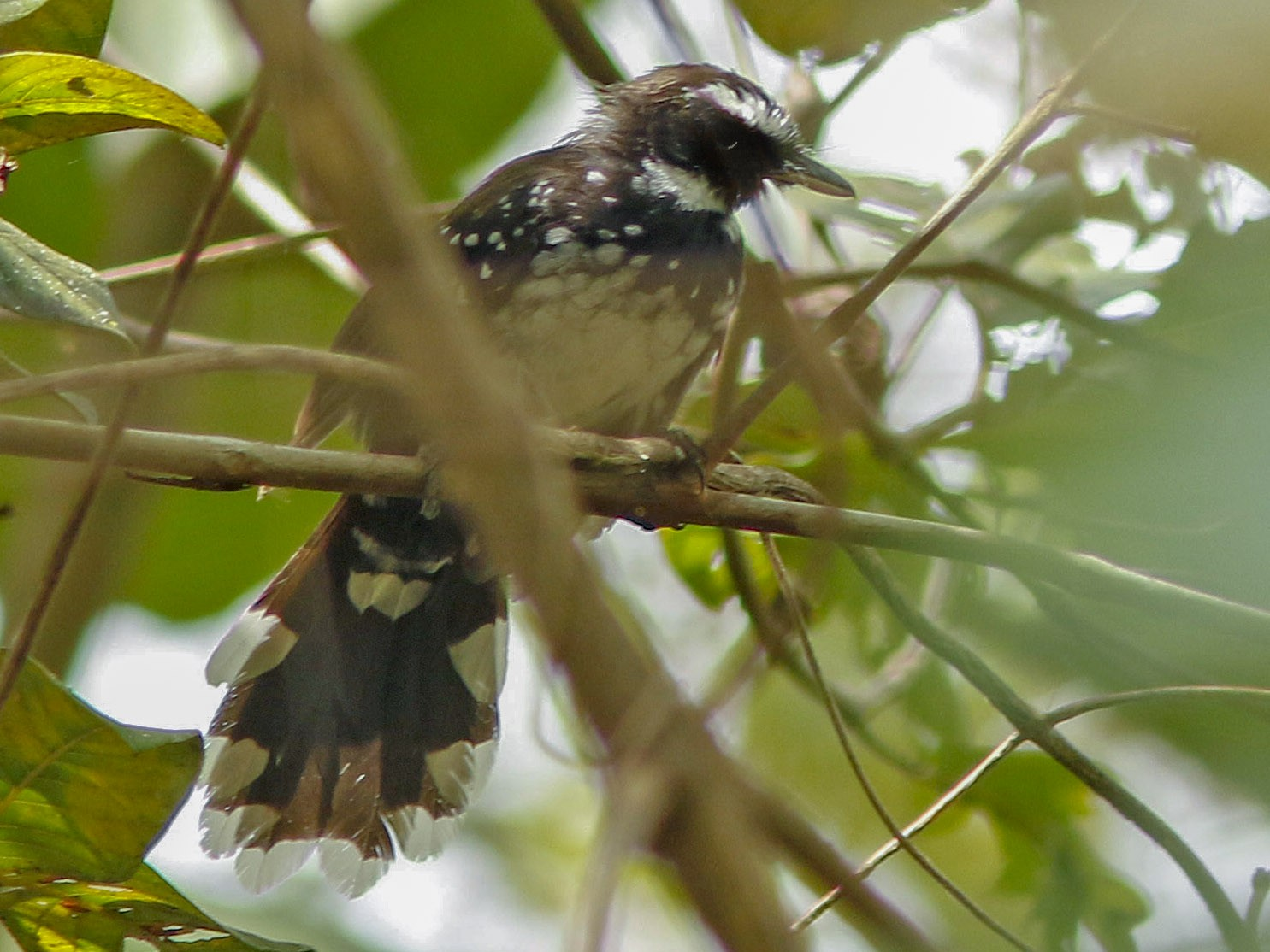 White-bellied Thicket-Fantail - David Beadle
