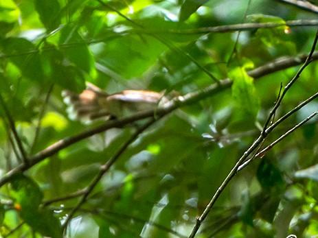 Rufous-backed Fantail - Jeroen Vanheuverswyn
