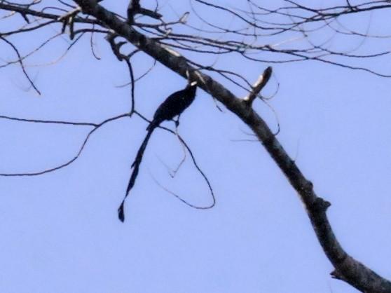 Ribbon-tailed Drongo - Charles Davies