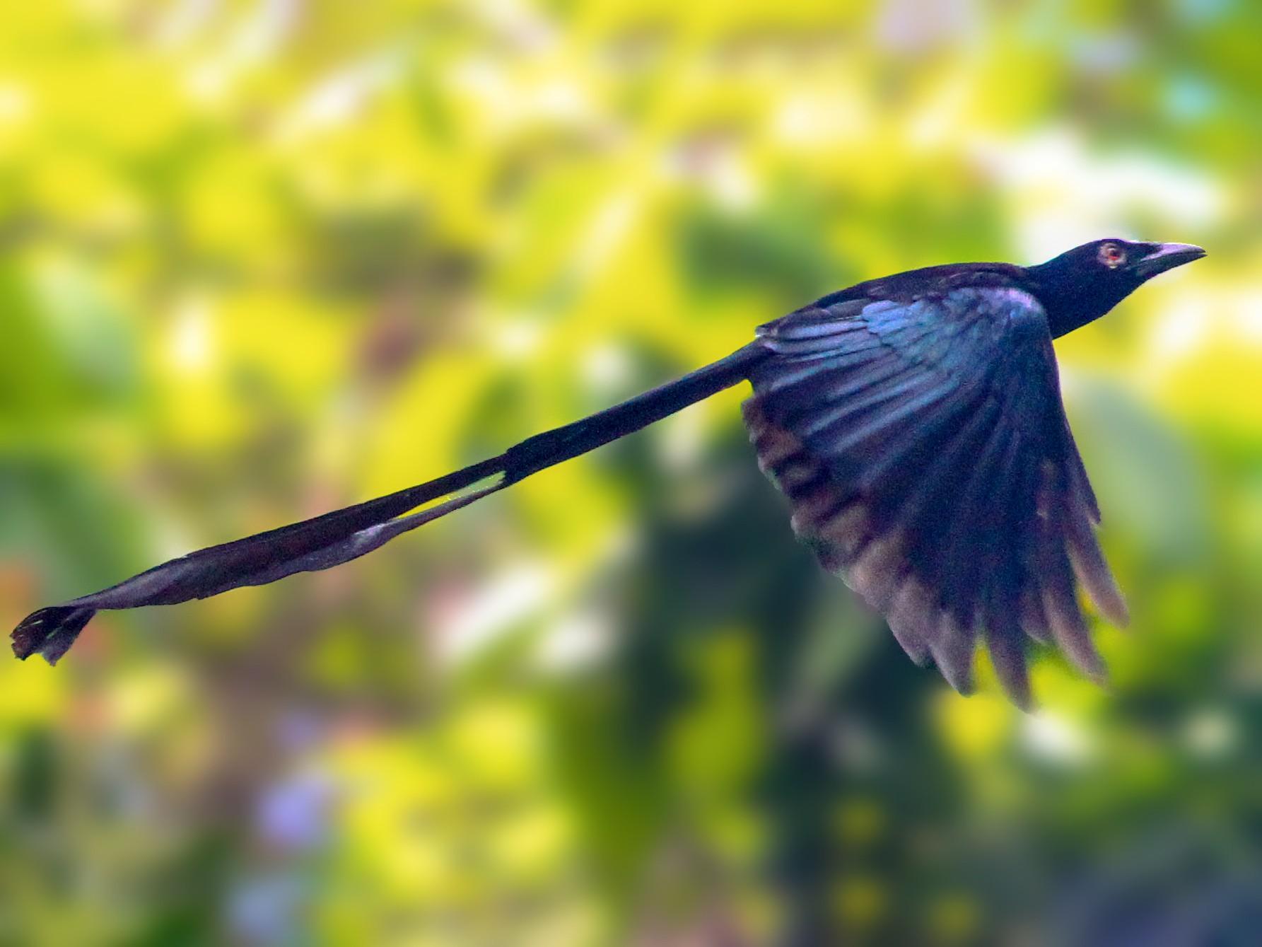 Ribbon-tailed Drongo - Ashley Banwell