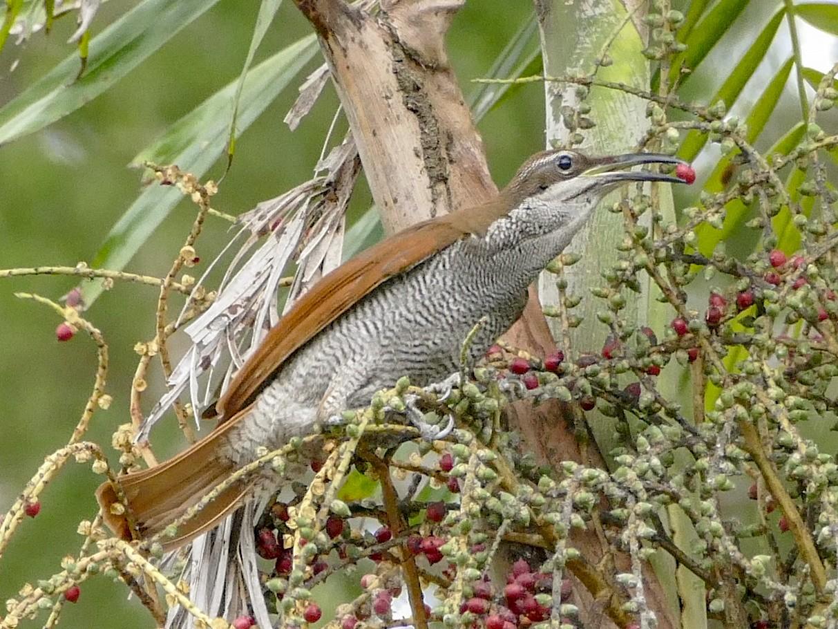Growling Riflebird - Chris Barnes
