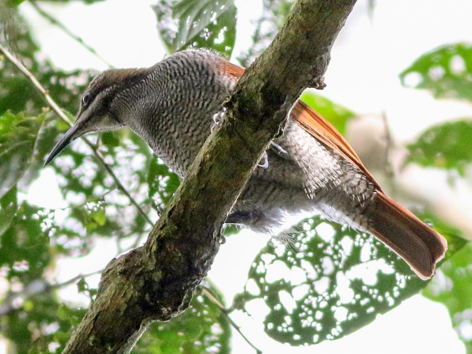 Growling Riflebird - Chris Wiley