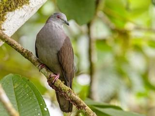 - Dusky Pigeon