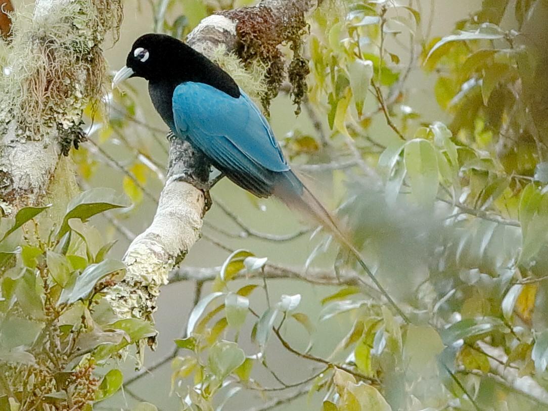 Blue Bird-of-Paradise - Holger Teichmann