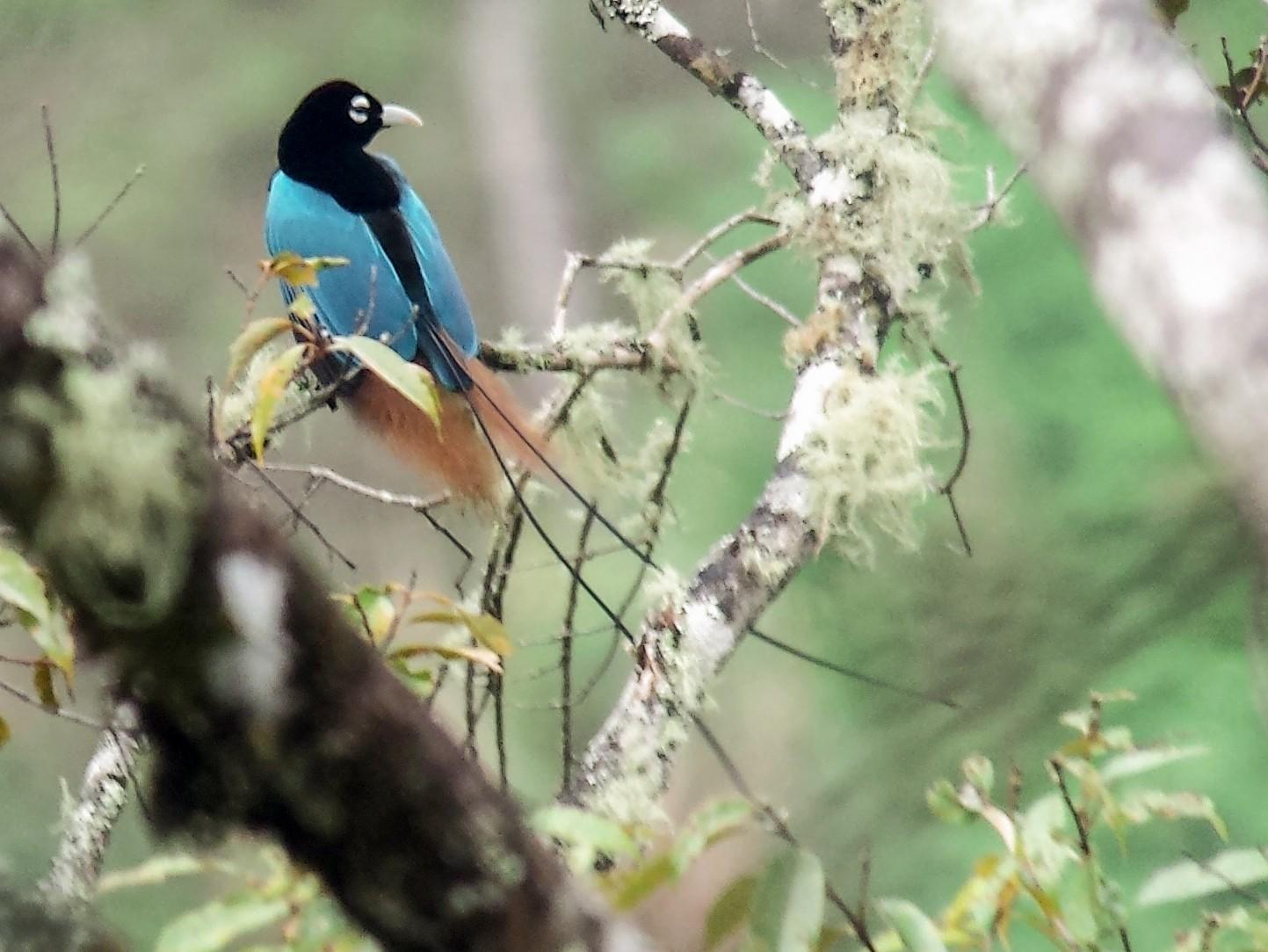 Blue Bird-of-Paradise - Jay VanderGaast