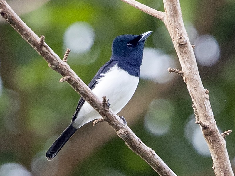 Steel-blue Flycatcher - Niall D Perrins