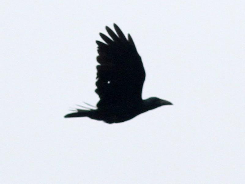 Bougainville Crow - Stephan Lorenz