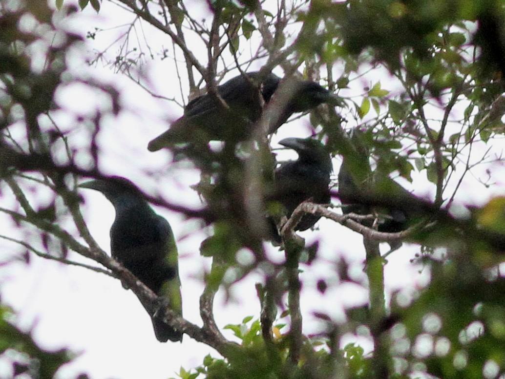 Bougainville Crow - Ashley Banwell