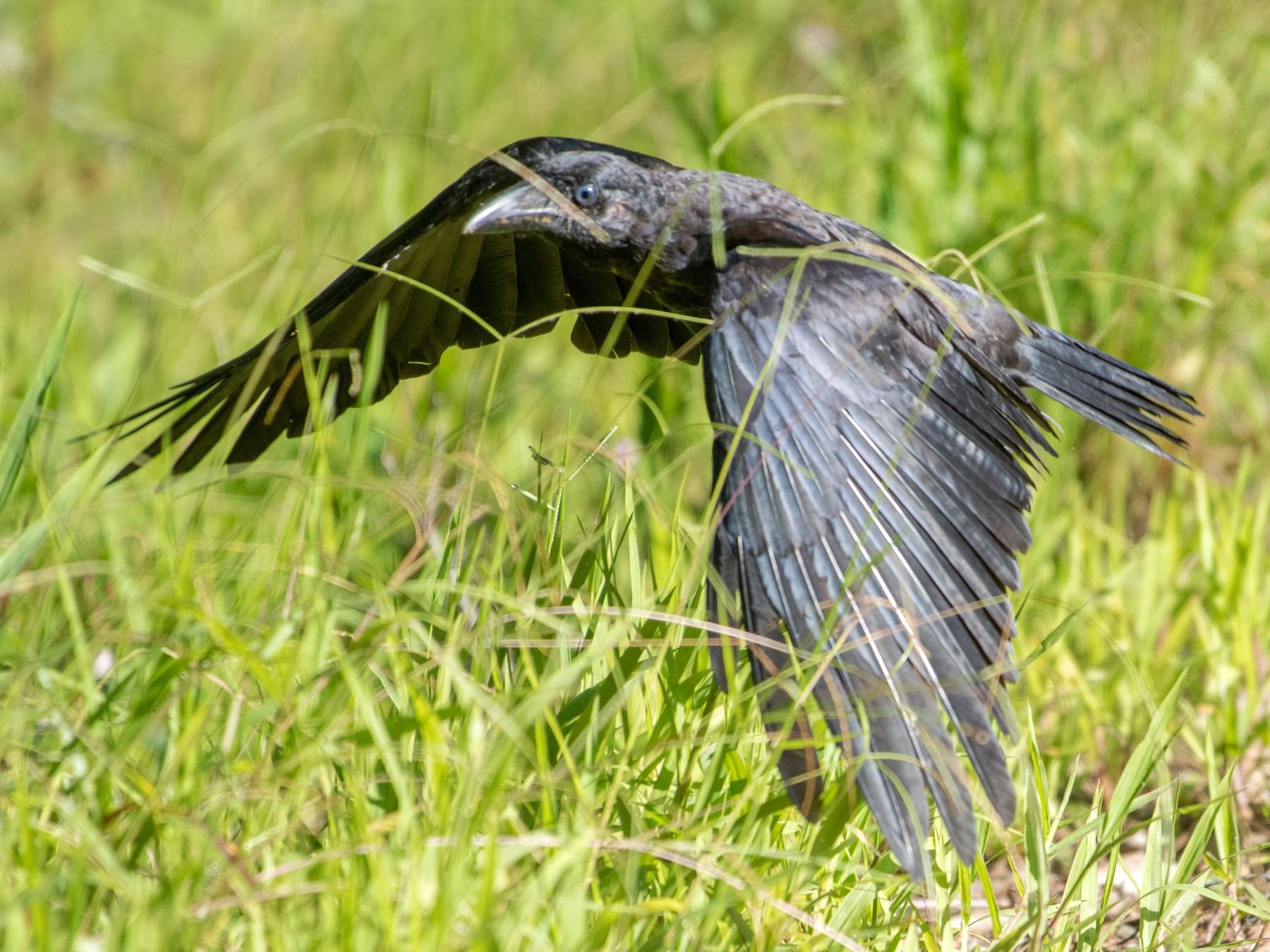 Bismarck Crow - John C. Mittermeier