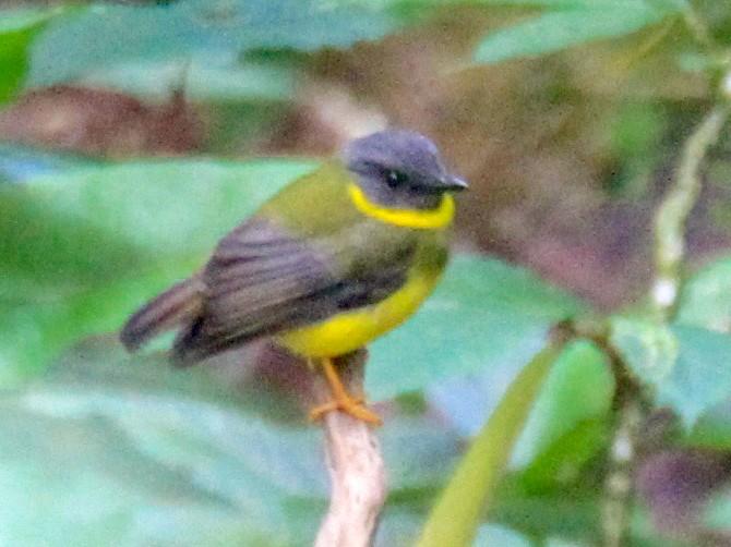 Olive-yellow Robin - Charles Davies
