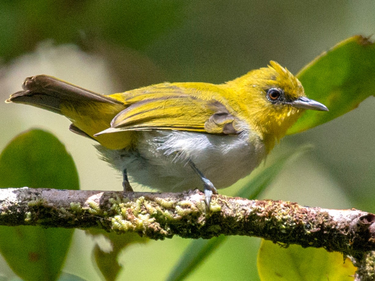 Yellow-throated White-eye - John C. Mittermeier
