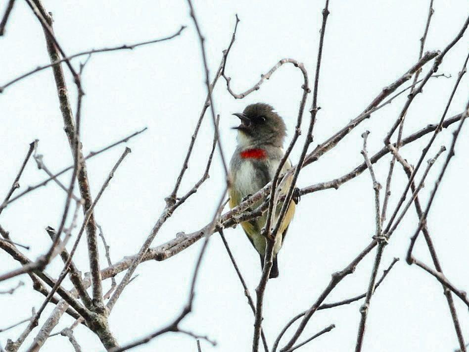 Red-banded Flowerpecker - Markus Lilje