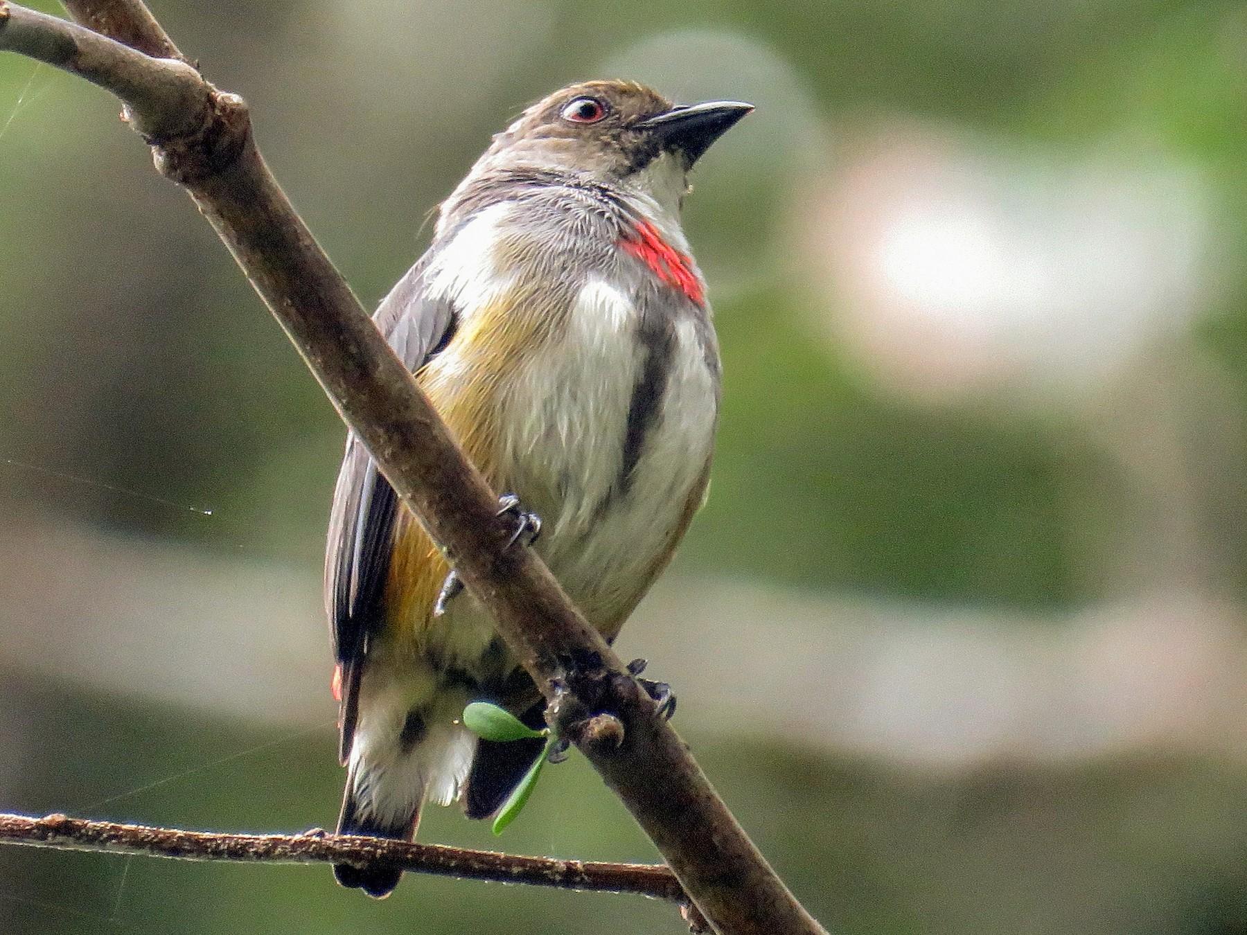 Red-banded Flowerpecker - Simon RB Thompson