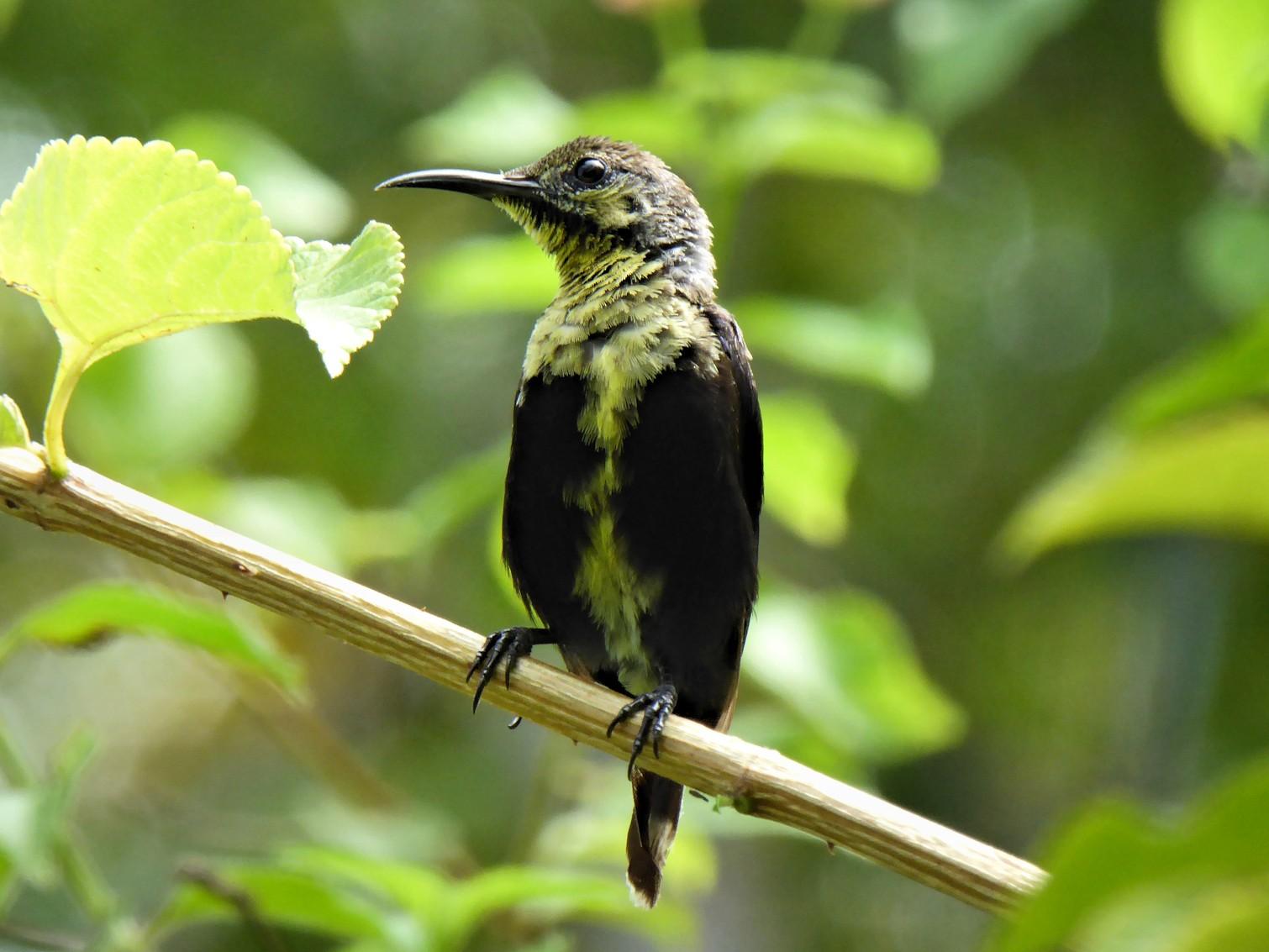 Black Sunbird - Joseph Kelly