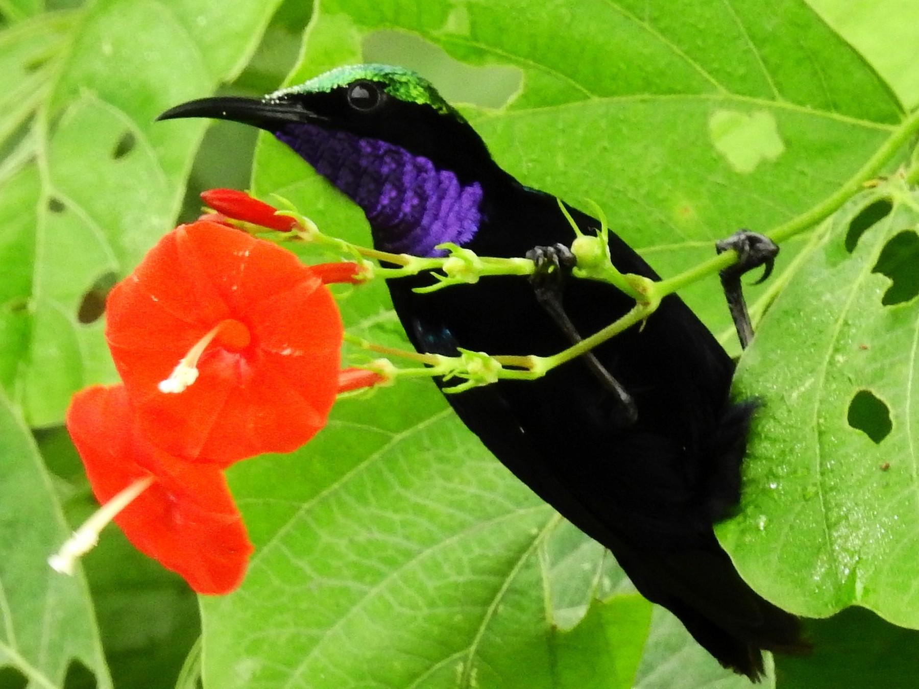 Black Sunbird - Panji Gusti Akbar