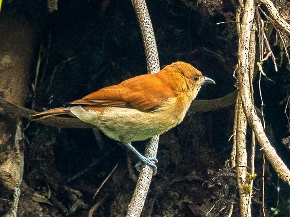 Cinnamon Ibon - Forest Jarvis