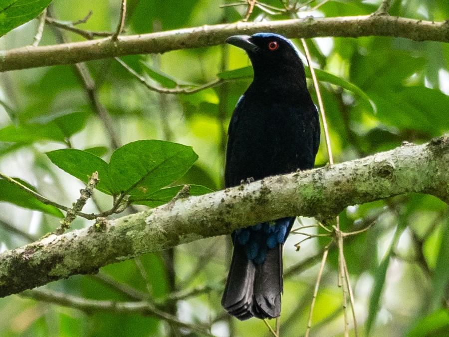 Philippine Fairy-bluebird - Forest Jarvis