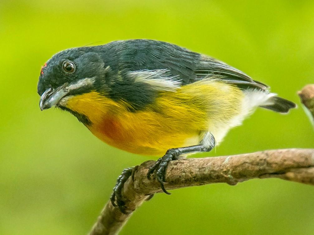 Palawan Flowerpecker - Djop Tabaranza