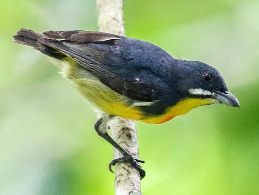 Palawan Flowerpecker - Bruce  Purdy