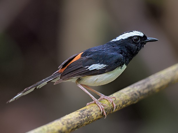 White-browed Shama - Con Foley