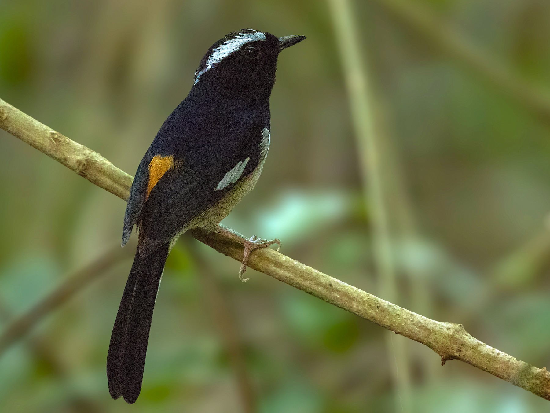White-browed Shama - Bradley Hacker