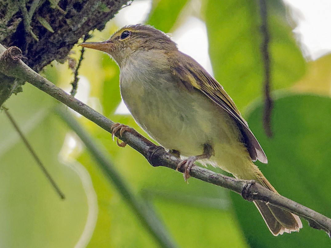 Philippine Leaf Warbler - Vincent Wang