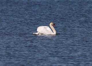 Mute Swan, ML266867461