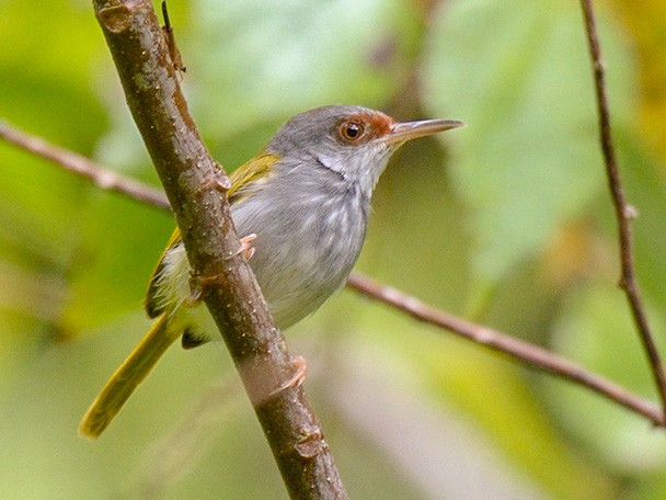 Rufous-fronted Tailorbird - Con Foley
