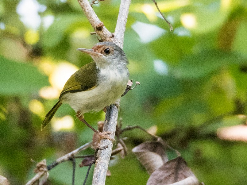 Rufous-fronted Tailorbird - Forest Jarvis