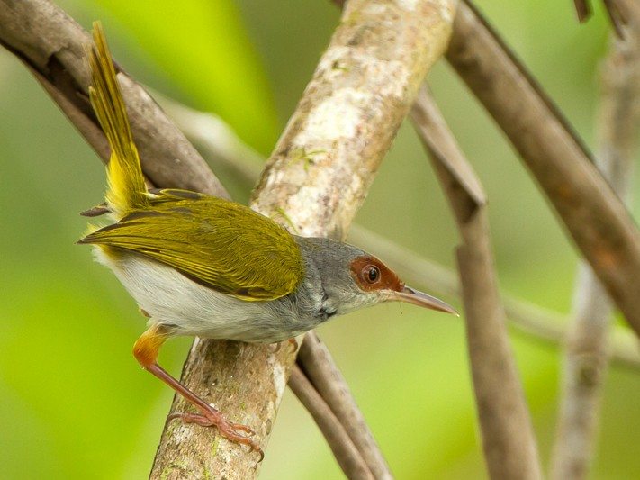 Rufous-fronted Tailorbird - Frédéric PELSY
