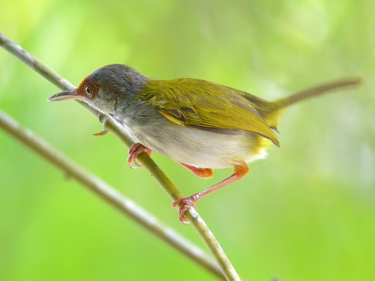 Rufous-fronted Tailorbird - Allan Barredo