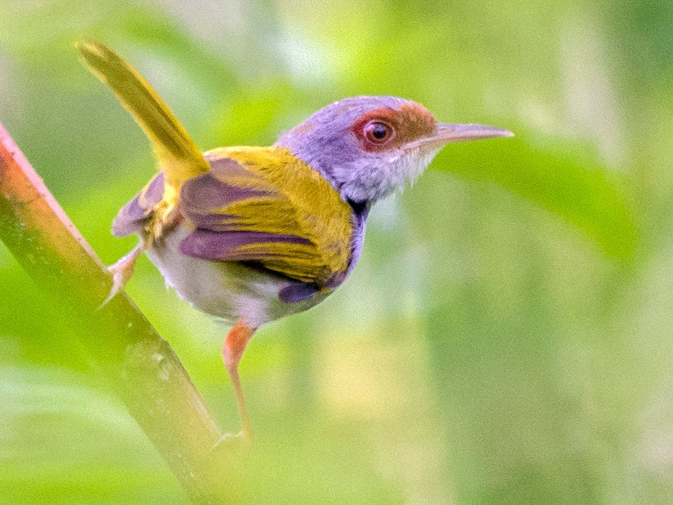 Rufous-fronted Tailorbird - Jose Feliciano Josef