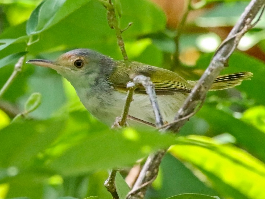 Rufous-fronted Tailorbird - Pete Simpson