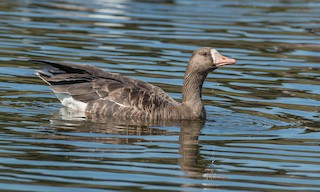 Greater White-fronted Goose (Western), ML266903251