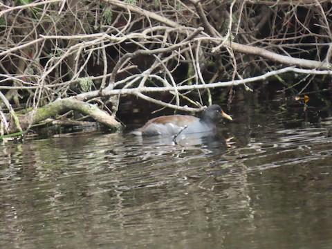 Common Gallinule - Liam Hampl