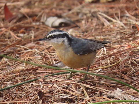 Red-breasted Nuthatch - Liam Hampl