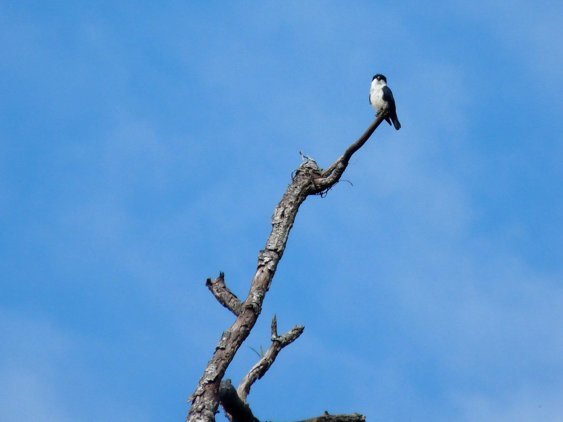 Philippine Falconet - Selvino de Kort