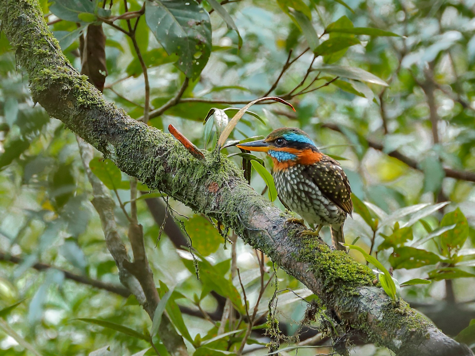 Spotted Kingfisher - Jeran Lin