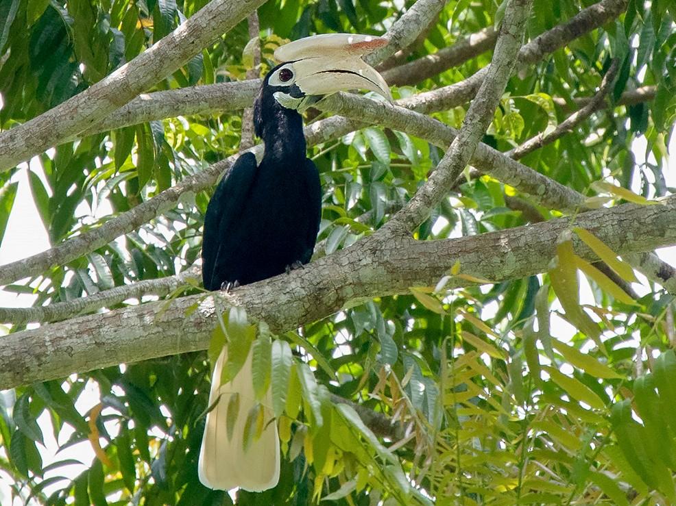 Palawan Hornbill - Ayuwat Jearwattanakanok